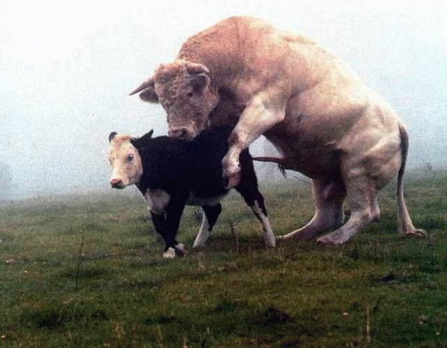 Трах коровы смотреть видео