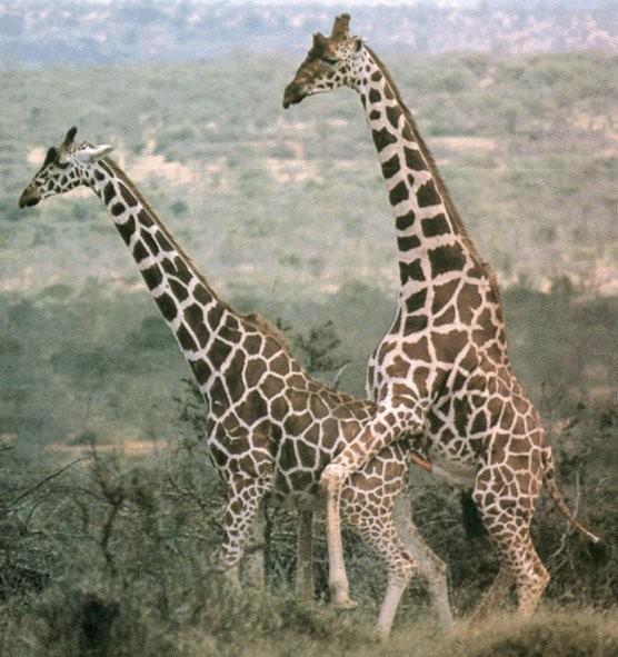 20 Examples of Giraffes Awkwardly Having Sex.
